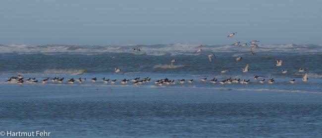 09_austernfischer_29-10-17