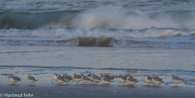16_sanderlinge_31-10-17