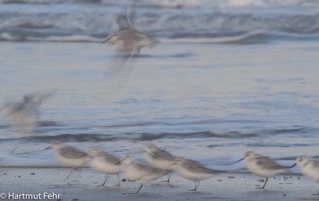 17_sanderlinge_31-10-17