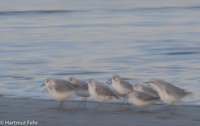 18_sanderlinge_31-10-17