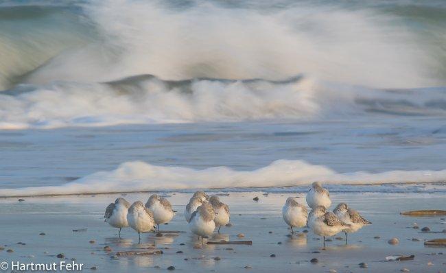 14_sanderlinge_31-10-17