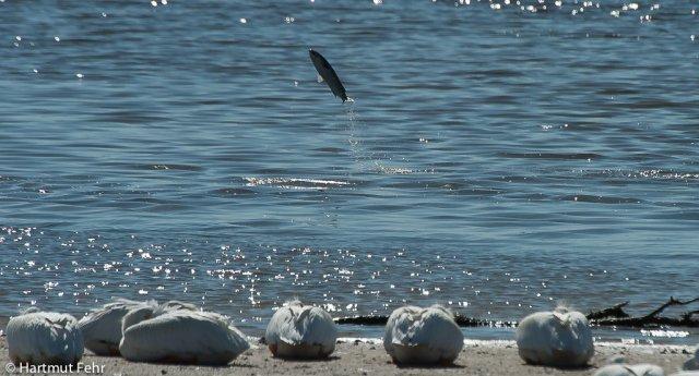 15_springender-fisch