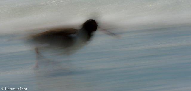 20_austernfischer