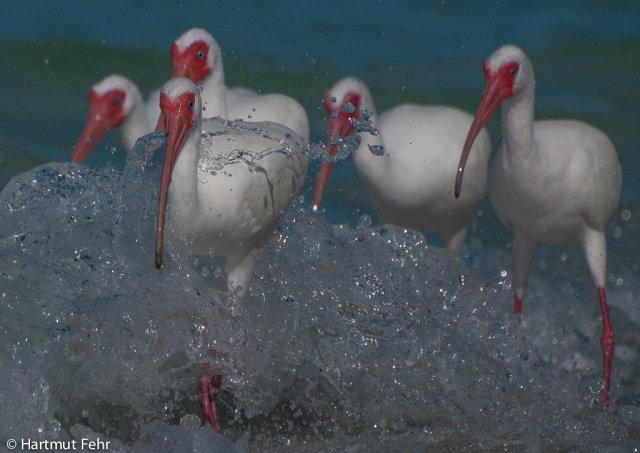 3_ibis_ami