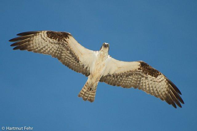 8_osprey