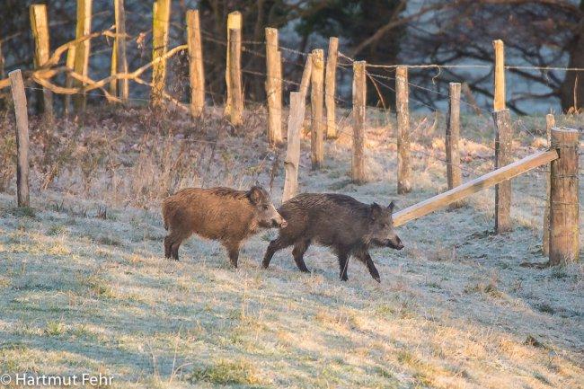 01_wildschweine_30-11-2016