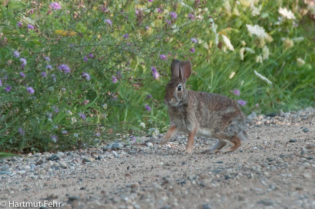 amerikanisches-kaninchen