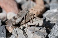 5-oedlandschrecken-24082013