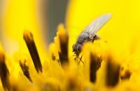 bluetenbestaeubende-fliege