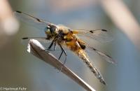 vierfleck-libellula-quadrimaculata