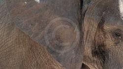 elefant_seitenprofil