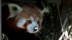 kleiner_panda