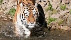 tiger_wtal_