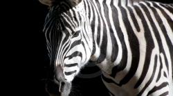 zebra_black