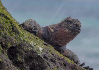Meerechse Espanola, Galápagos | Faszination Tierfotografie - Hartmut Fehr
