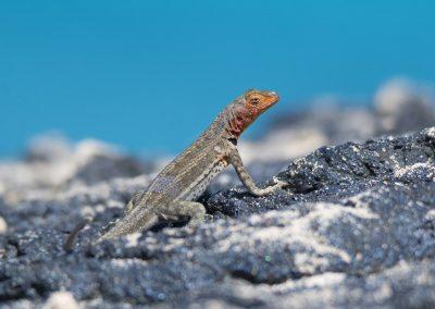 Lavaechse Microlophus albemarlensis Santiago, Galápagos | Faszination Tierfotografie - Hartmut Fehr