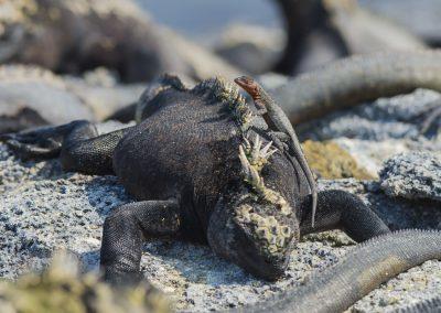 In der Sonne dösende Meerechsen locken mit ihrem Geruch Fliegen an und decken damit den Tisch für die kleinen Lava-Echsen (Fernandina 06.05.2018) | Faszination Tierfotografie - Hartmut Fehr