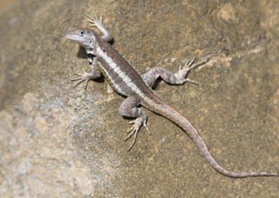 San Cristóbal-Lavaechse (M. bivattatus) | Faszination Tierfotografie - Hartmut Fehr