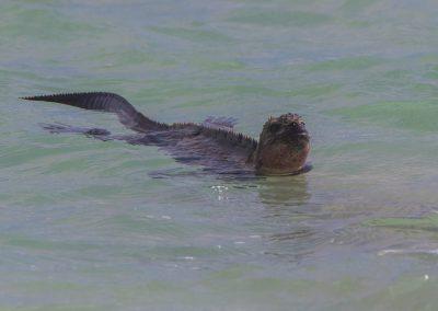 Meerechsen Tauchgang Espanola, Galápagos | Faszination Tierfotografie - Hartmut Fehr