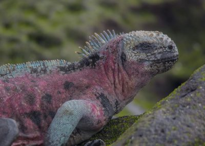 Meerechsen Espanola, Galápagos | Faszination Tierfotografie - Hartmut Fehr