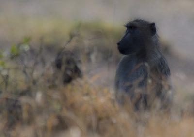 Pavian (Südafrika) | Faszination Tierfotografie - Hartmut Fehr