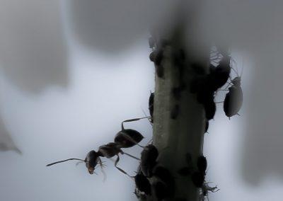 Insektenfotografie von Hartmut Fehr: eine Ameise in der Blattlauskolonie an einer Margarite.