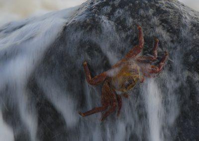 Tierfotografie von Hartmut Fehr: Rote Klippenkrabbe auf Galapagos wird von der Brandung überspült.