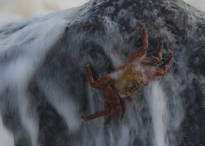 Rote Klippenkrabbe in der Brandung - Foto des Monats April 2018 | Faszination Tierfotografie - Hartmut Fehr