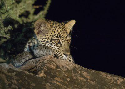 Junger Leopard bei Nacht - Foto des Monats April 2019 | Faszination Tierfotografie - Hartmut Fehr