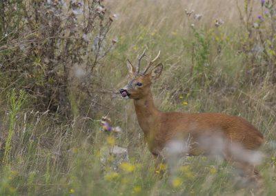 Rehbock zur Blattzeit - Foto des Monats August 2019 | Faszination Tierfotografie - Hartmut Fehr