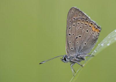 Schmetterlingsfotografie von Hartmut Fehr: ein Bläuling hängt im Morgentau an einem Grashalm.