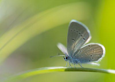 Schmetterlingsfotografie von Hartmut Fehr: ein Bläuling im Gegenlicht.