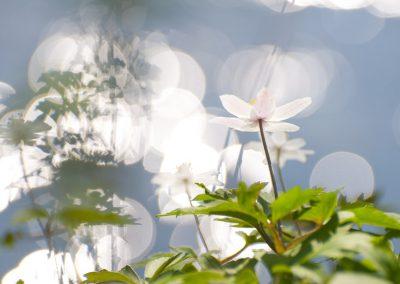 Buschwindröschen mit Geisterschatten | Faszination Tierfotografie - Hartmut Fehr