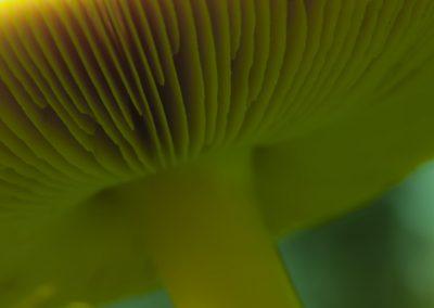 Pilzfotografie von Hartmut Fehr: Unterseite eines Pilzes mit seinen Lamellen.