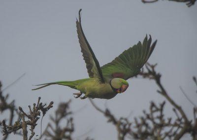 Vogelfotografie von Hartmut Fehr: Der Alexandersittich gehört mittlerweile zur heimischen Vogelfauna; hier in Köln am Rhein.