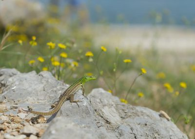 Reptilienfotografie von Hartmut Fehr: eine Ruineneidechse sitzt auf einem Felsen. Im Hintergrund Mittelmeervegetation.