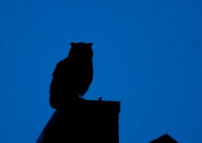 Vogelfotografie von Hartmut Fehr: Uhu sitzt als Silhouette auf einem Dach.
