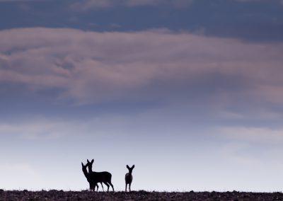 Rehe im Abendlicht | Faszination Tierfotografie - Hartmut Fehr