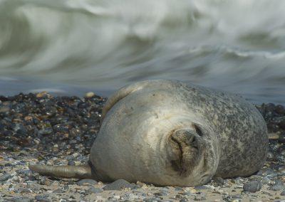 Seehund am Strand von Helgoland | Faszination Tierfotografie - Hartmut Fehr