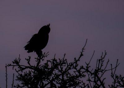 Vogelfotografie von Hartmut Fehr: Ein Uhu als Scherenschnitt im letzten Abendlicht.