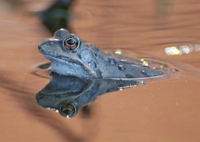 Amphibienfotografie von Hartmut Fehr: ein Grasfrosch im Teich mit seinem Spiegelbild.