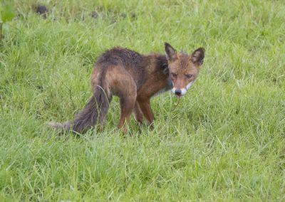 Hungriger Fuchs | Faszination Tierfotografie - Hartmut Fehr