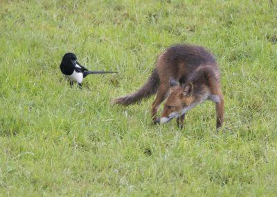 Der Fuchs und die Elster | Faszination Tierfotografie - Hartmut Fehr