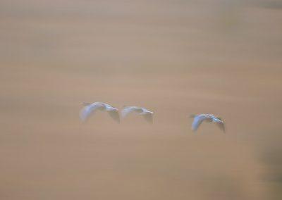 Vogelfotografie von Hartmut Fehr: fliegende Gänse im Morgennebel nahe dem Pilsumer Leuchtturm in Greetsiel/Ostfriesland.