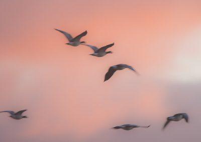 Vogelfotografie von Hartmut Fehr: fliegende Gänse bei Sonnenaufgang nahe dem Pilsumer Leuchtturm in Greetsiel/Ostfriesland.