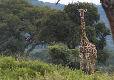 Giraffe | Faszination Tierfotografie - Hartmut Fehr