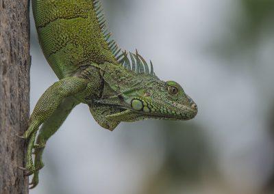 Reptilienfotografie von Hartmut Fehr: ein Grüner Leguan sitzt an einem Baumstamm. Guayaquil. Ecuador.