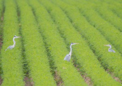 Vogelfotografie von Hartmut Fehr: Graureiher sitzen in einem Möhrenfeld.