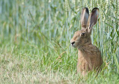 Hase im Feld | Faszination Tierfotografie - Hartmut Fehr
