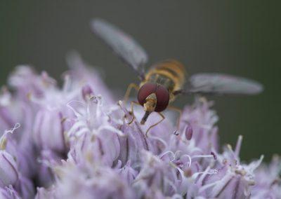 Insektenfotografie von Hartmut Fehr: eine Schwebfliege saugt an einer Blüte.